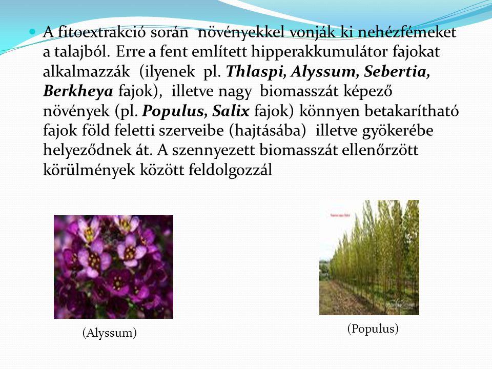 A fitoextrakció során növényekkel vonják ki nehézfémeket a talajból