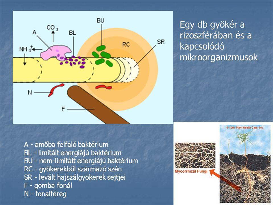 Egy db gyökér a rizoszférában és a kapcsolódó mikroorganizmusok
