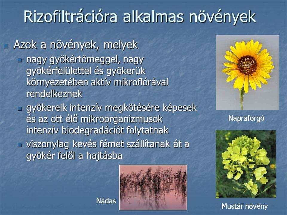 Rizofiltrációra alkalmas növények