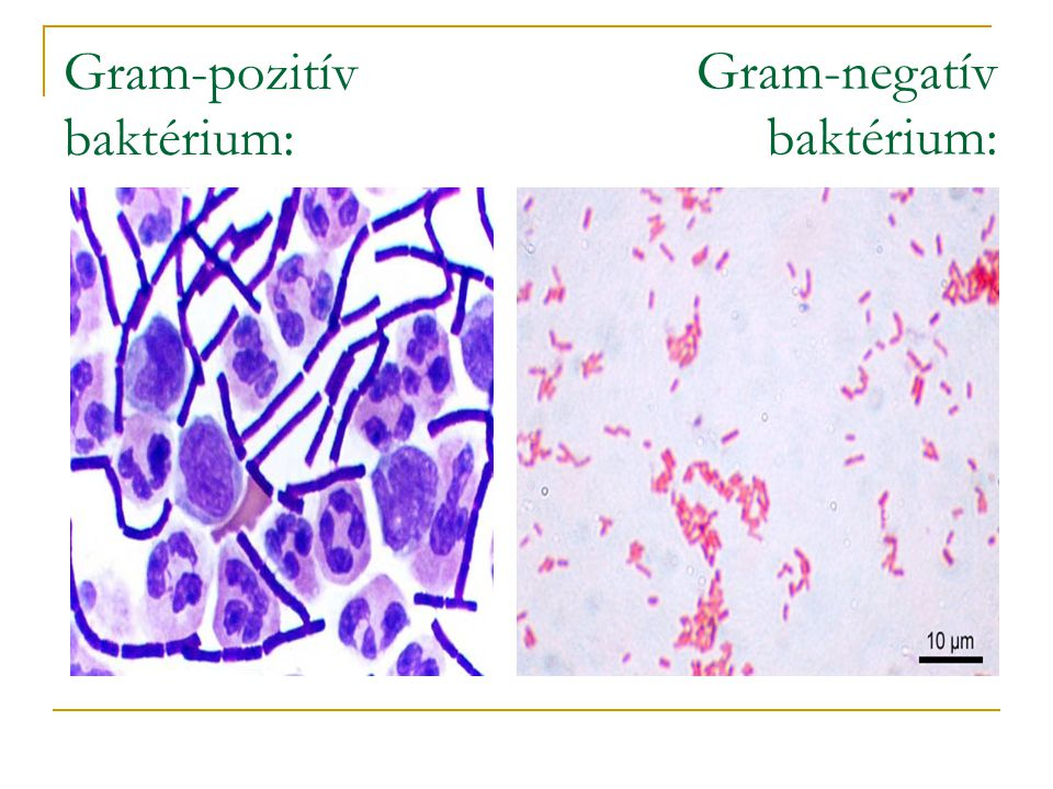 Gram-pozitív baktérium: