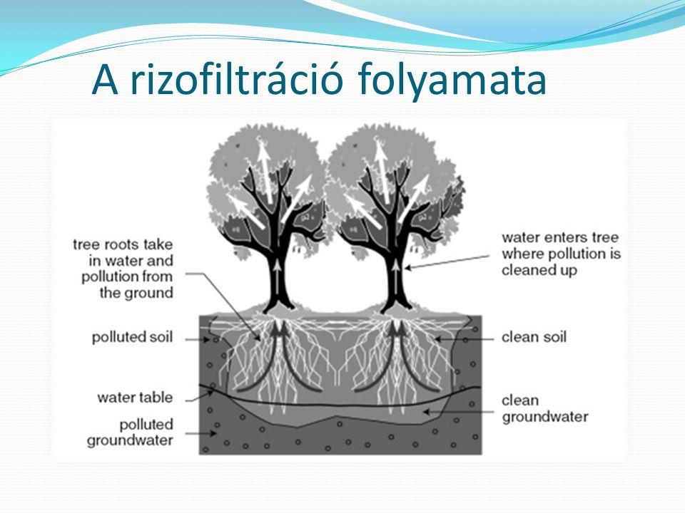 A rizofiltráció folyamata