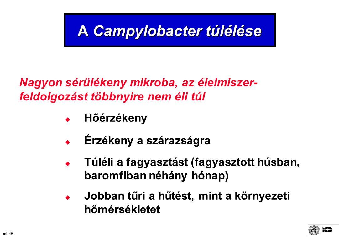 A Campylobacter túlélése