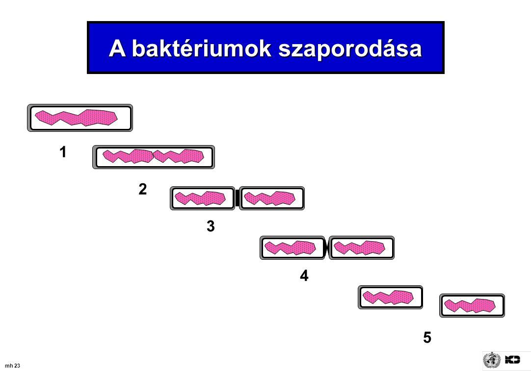 A baktériumok szaporodása