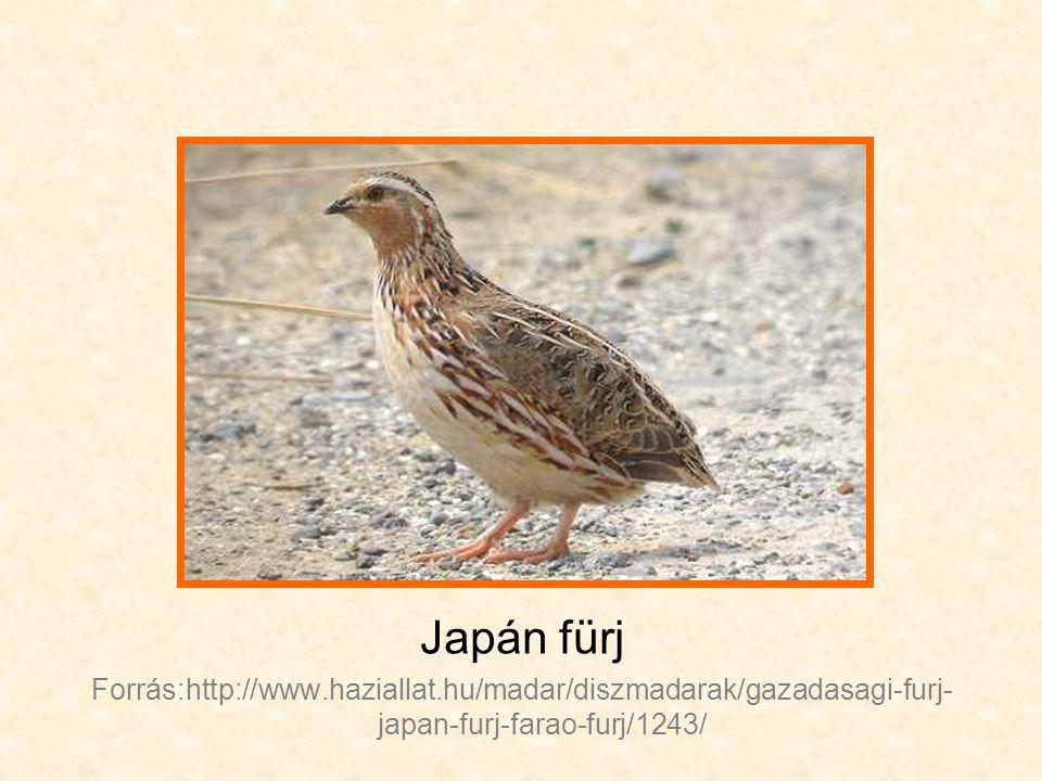 Japán fürj Forrás:http://www.haziallat.hu/madar/diszmadarak/gazadasagi-furj-japan-furj-farao-furj/1243/