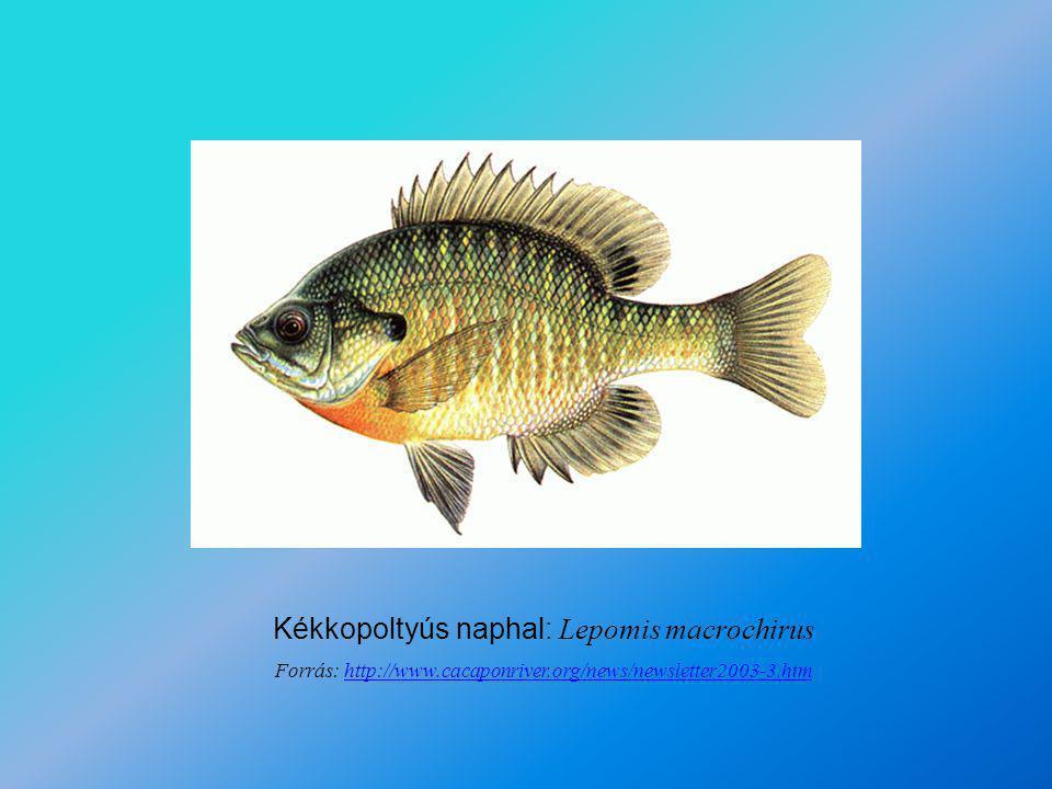 Kékkopoltyús naphal: Lepomis macrochirus