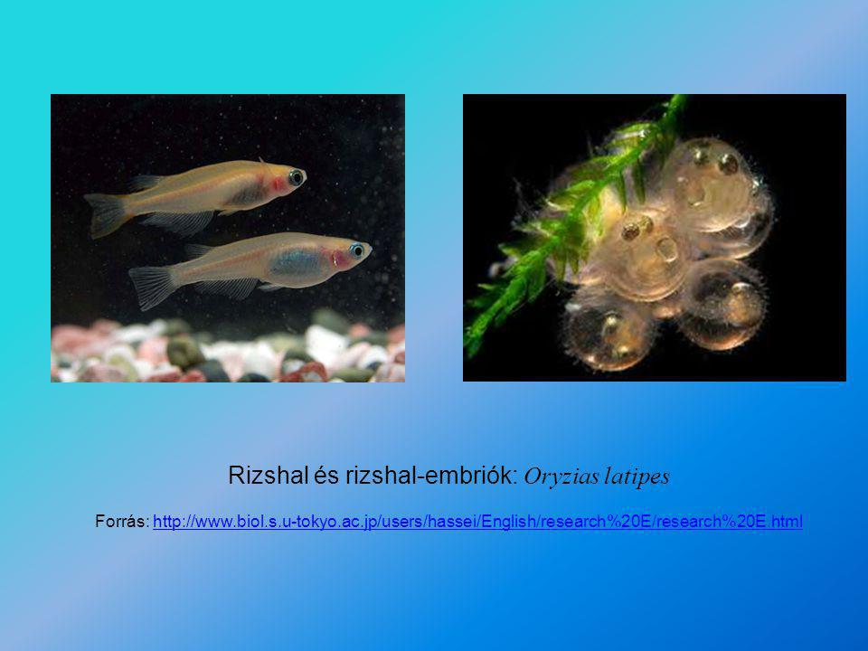 Rizshal és rizshal-embriók: Oryzias latipes