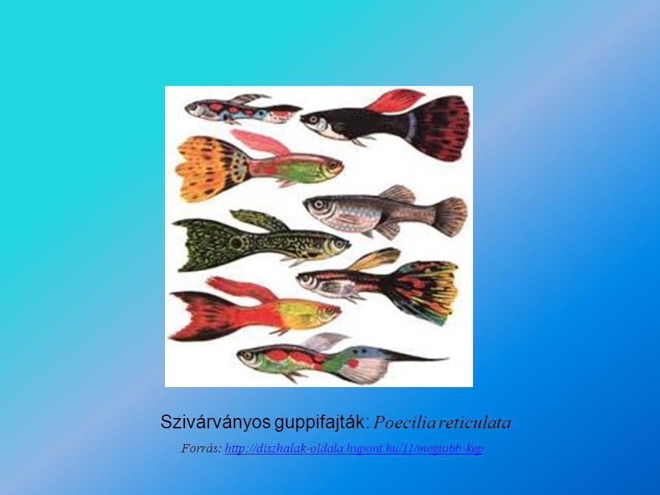 Szivárványos guppifajták: Poecilia reticulata