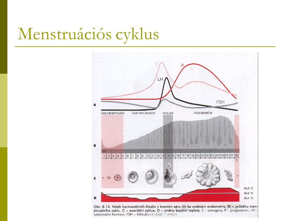 Menstruációs cyklus