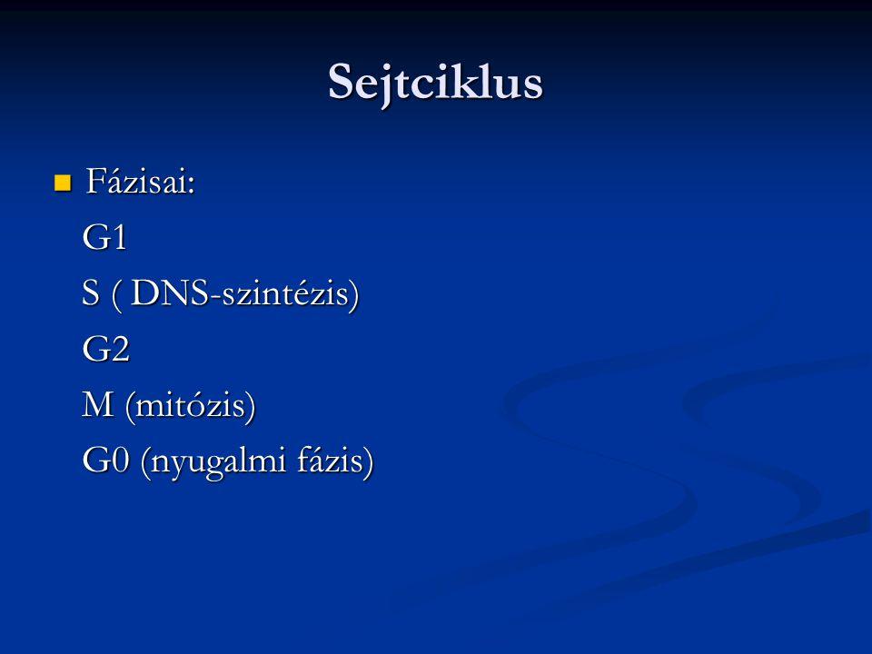 Sejtciklus Fázisai: G1 S ( DNS-szintézis) G2 M (mitózis)