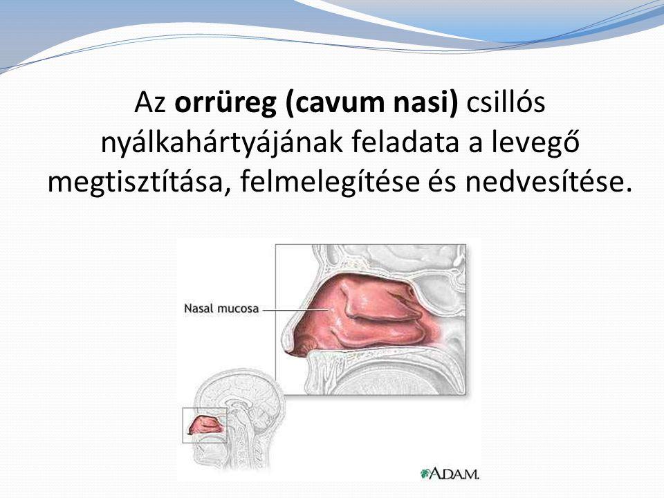 Az orrüreg (cavum nasi) csillós nyálkahártyájának feladata a levegő megtisztítása, felmelegítése és nedvesítése.