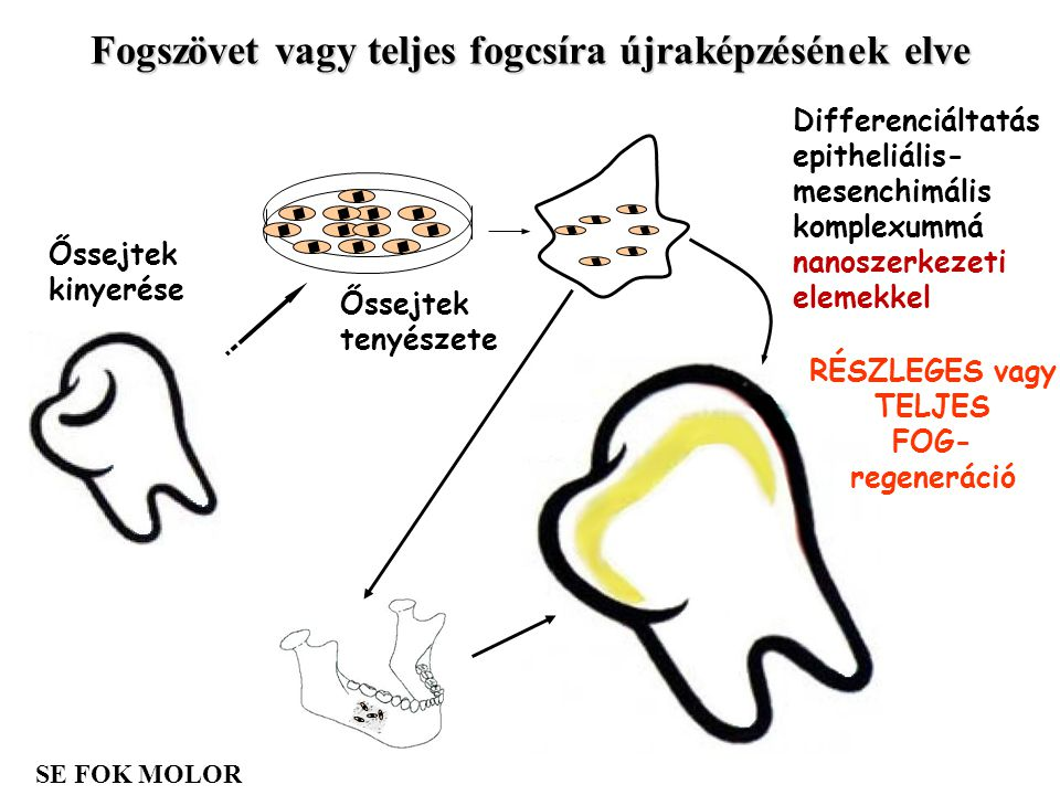 Fogszövet vagy teljes fogcsíra újraképzésének elve