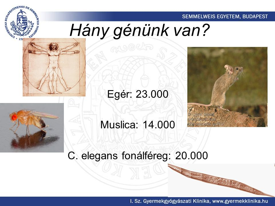 Hány génünk van Egér: 23.000 Muslica: 14.000