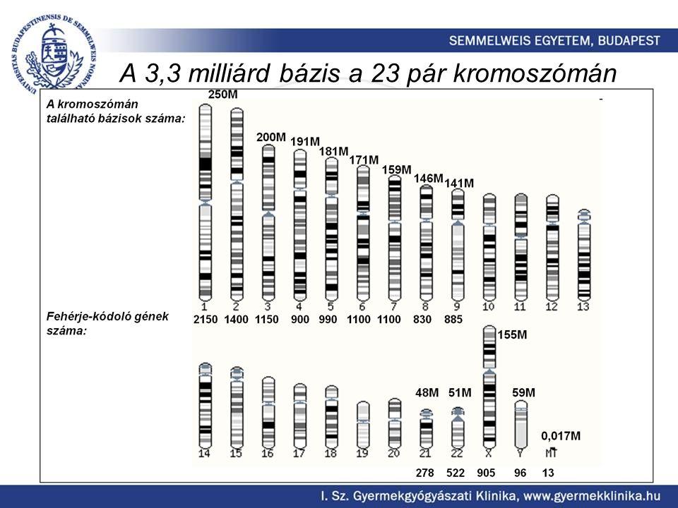 A 3,3 milliárd bázis a 23 pár kromoszómán
