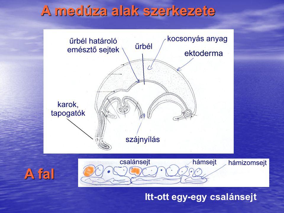 A medúza alak szerkezete