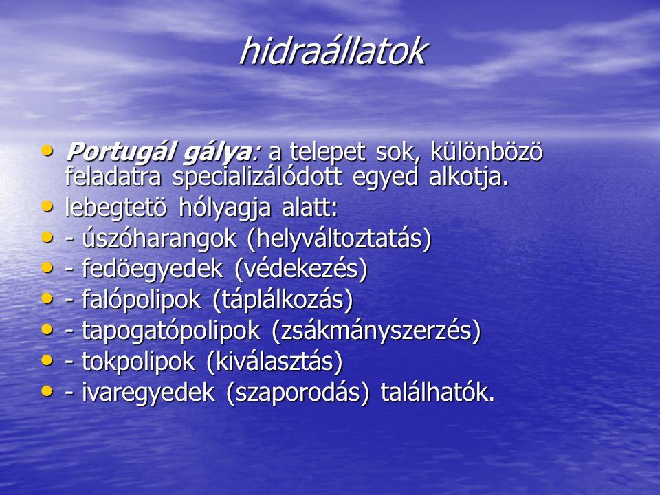 hidraállatok Portugál gálya: a telepet sok, különbözö feladatra specializálódott egyed alkotja. lebegtetö hólyagja alatt: