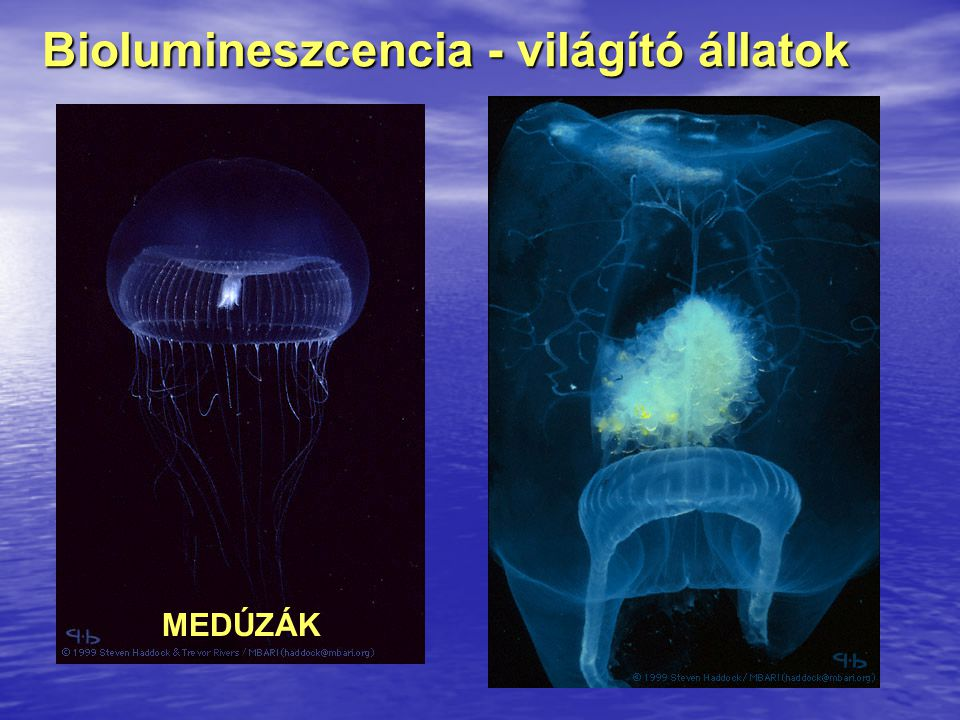 Biolumineszcencia - világító állatok
