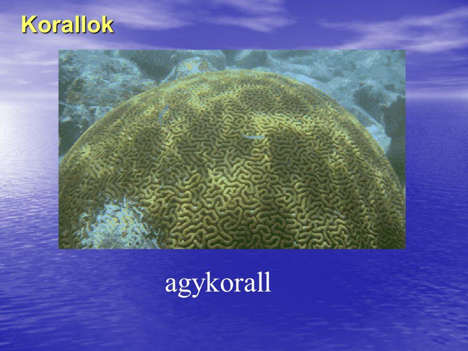 Korallok agykorall