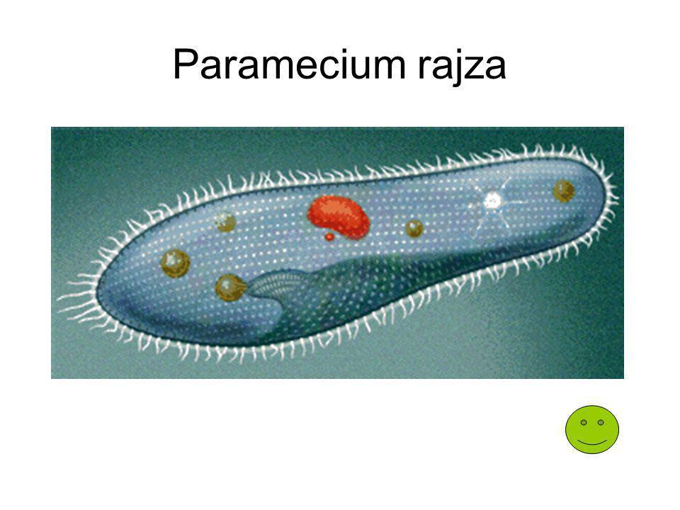 Paramecium rajza