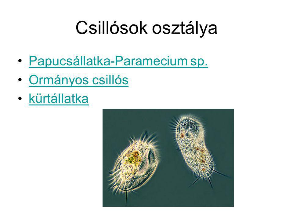 Csillósok osztálya Papucsállatka-Paramecium sp. Ormányos csillós