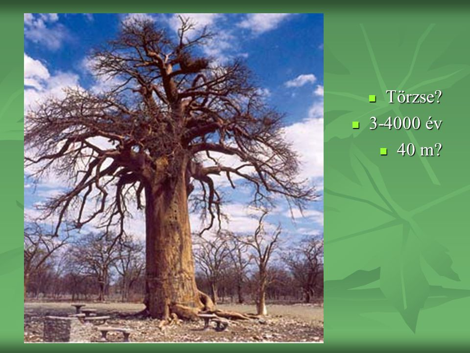 Törzse 3-4000 év 40 m
