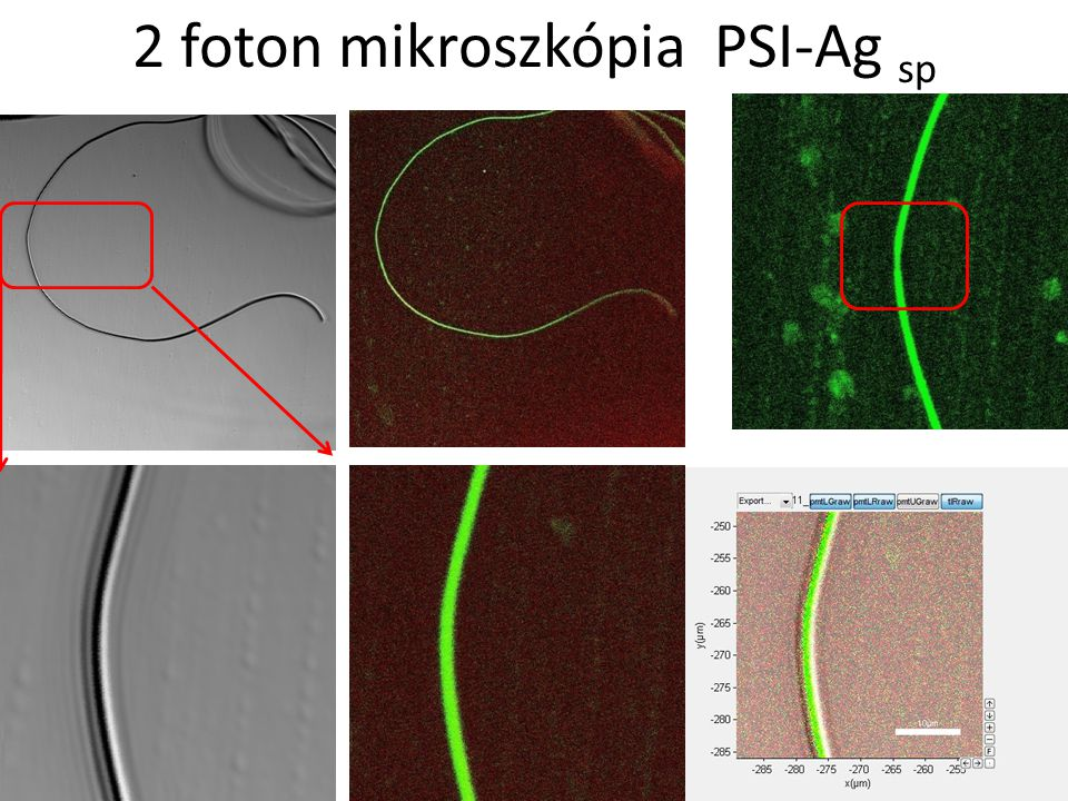 2 foton mikroszkópia PSI-Ag sp