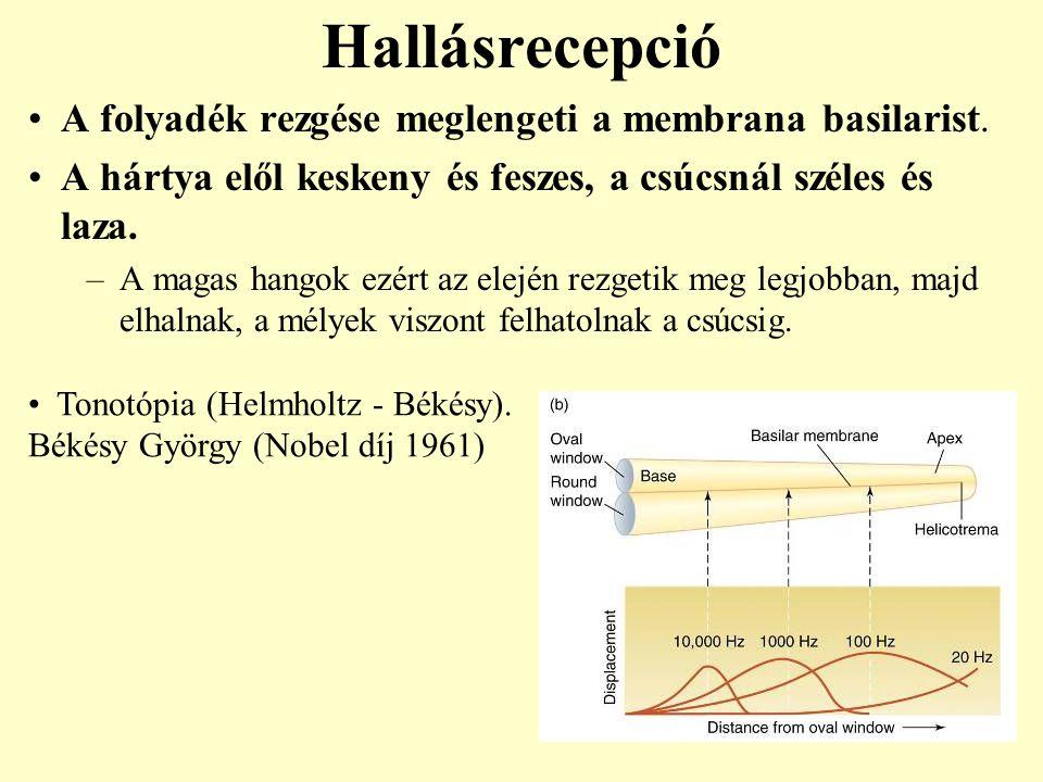 Hallásrecepció A folyadék rezgése meglengeti a membrana basilarist.
