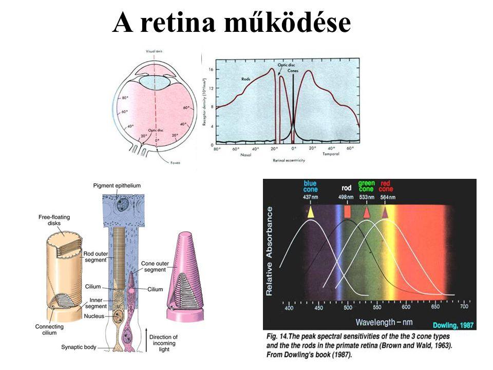 A retina működése
