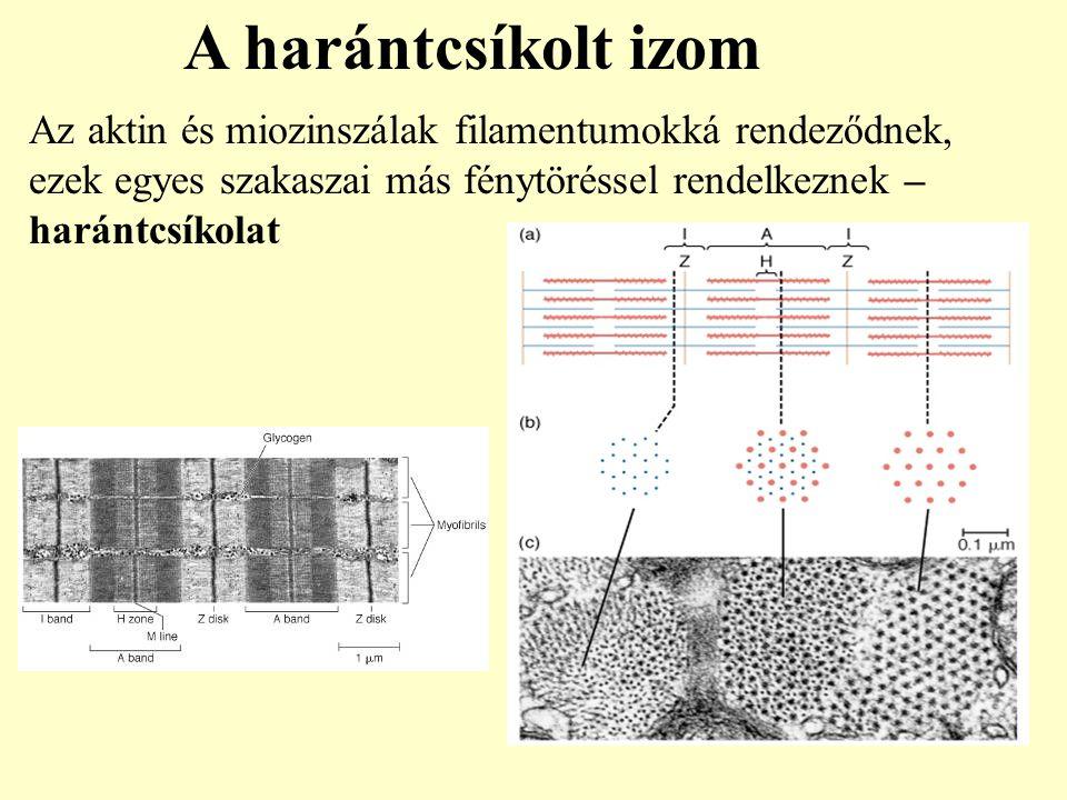 A harántcsíkolt izom Az aktin és miozinszálak filamentumokká rendeződnek, ezek egyes szakaszai más fénytöréssel rendelkeznek – harántcsíkolat.