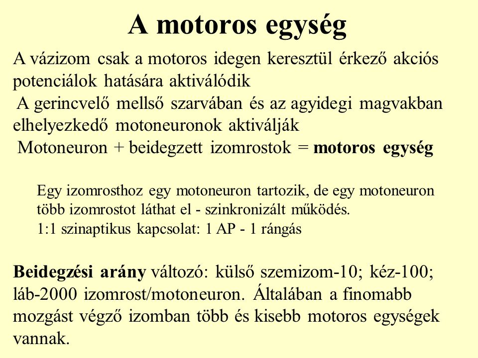 A motoros egység A vázizom csak a motoros idegen keresztül érkező akciós potenciálok hatására aktiválódik.