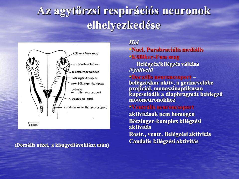 Az agytörzsi respirációs neuronok elhelyezkedése