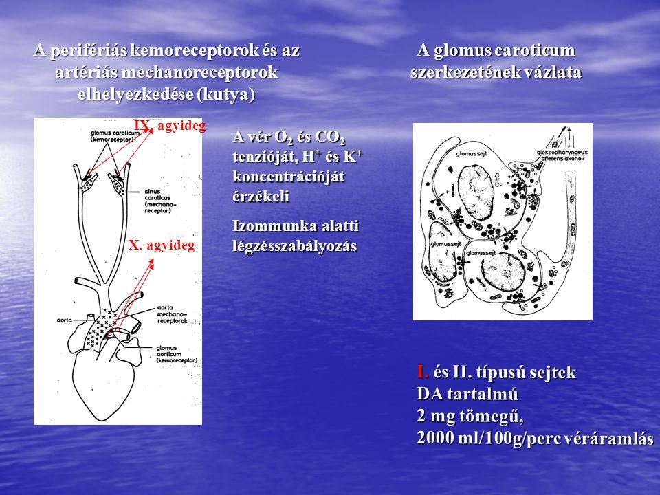 A glomus caroticum szerkezetének vázlata