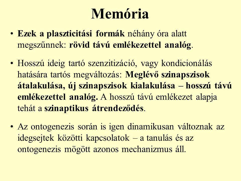 Memória Ezek a plaszticitási formák néhány óra alatt megszűnnek: rövid távú emlékezettel analóg.