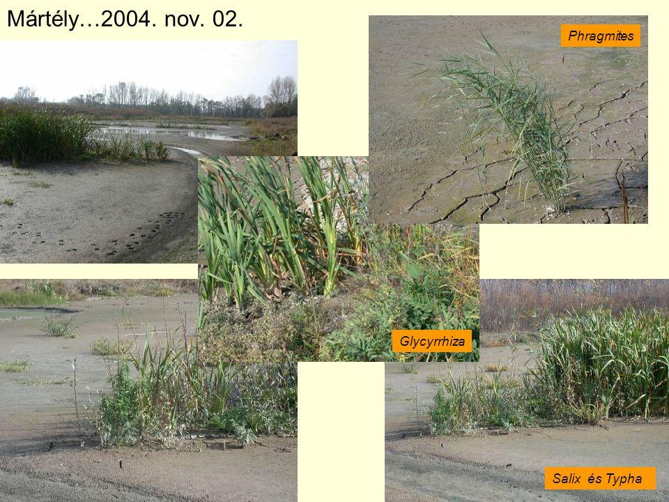 Mártély…2004. nov. 02. Phragmites Glycyrrhiza Salix és Typha