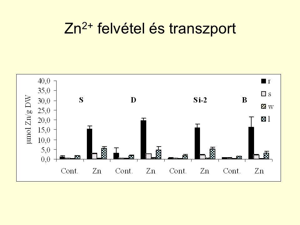 Zn2+ felvétel és transzport