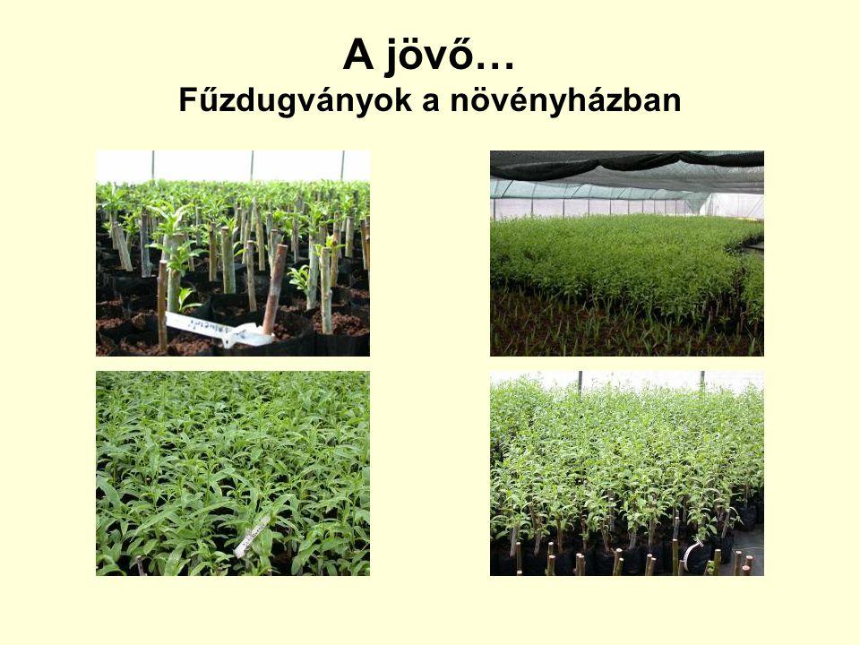 A jövő… Fűzdugványok a növényházban