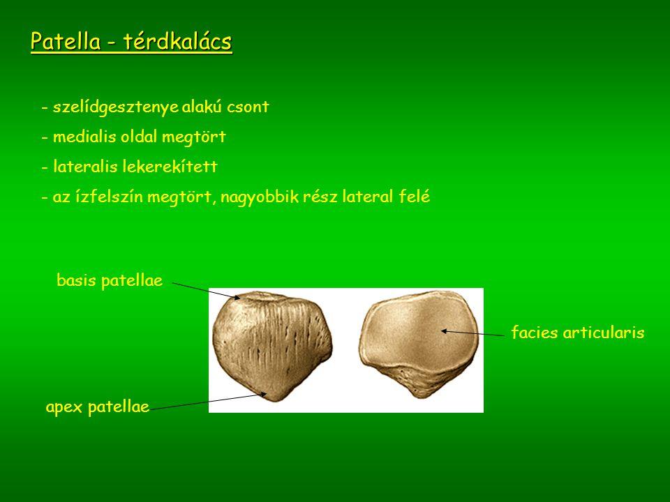 Patella - térdkalács szelídgesztenye alakú csont