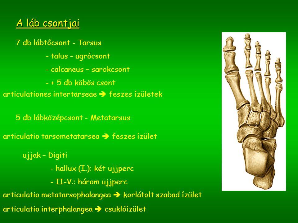A láb csontjai 7 db lábtőcsont - Tarsus talus – ugrócsont