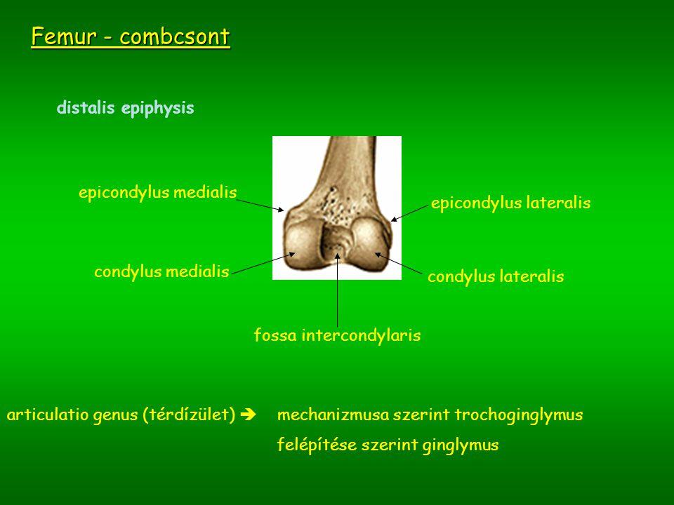 Femur - combcsont distalis epiphysis epicondylus medialis