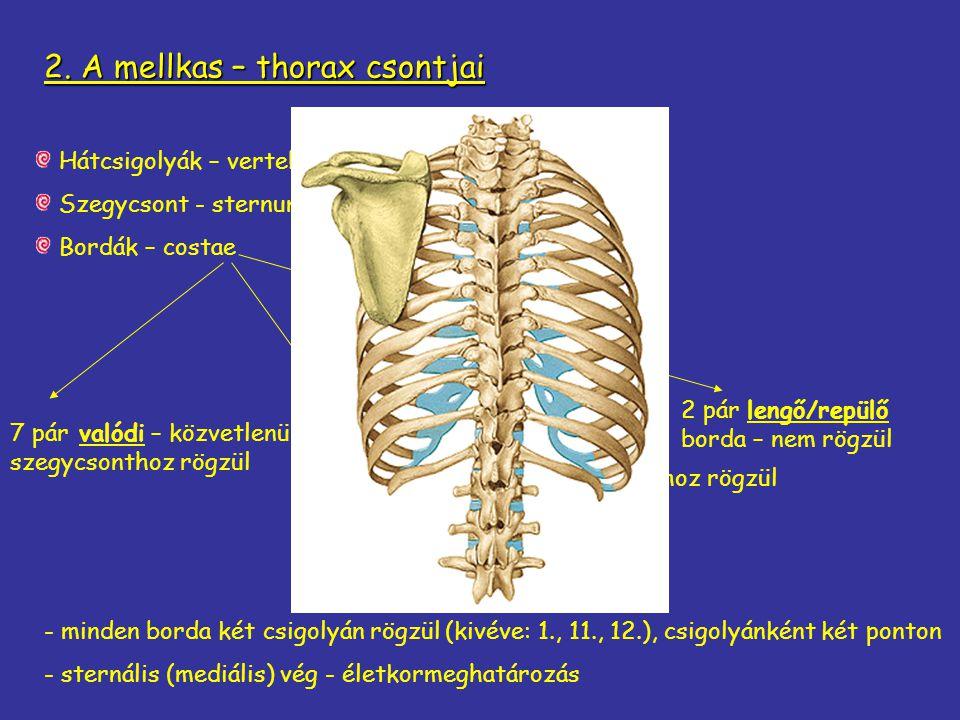 2. A mellkas – thorax csontjai
