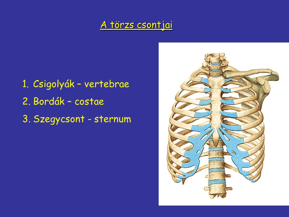 A törzs csontjai Csigolyák – vertebrae Bordák – costae Szegycsont - sternum