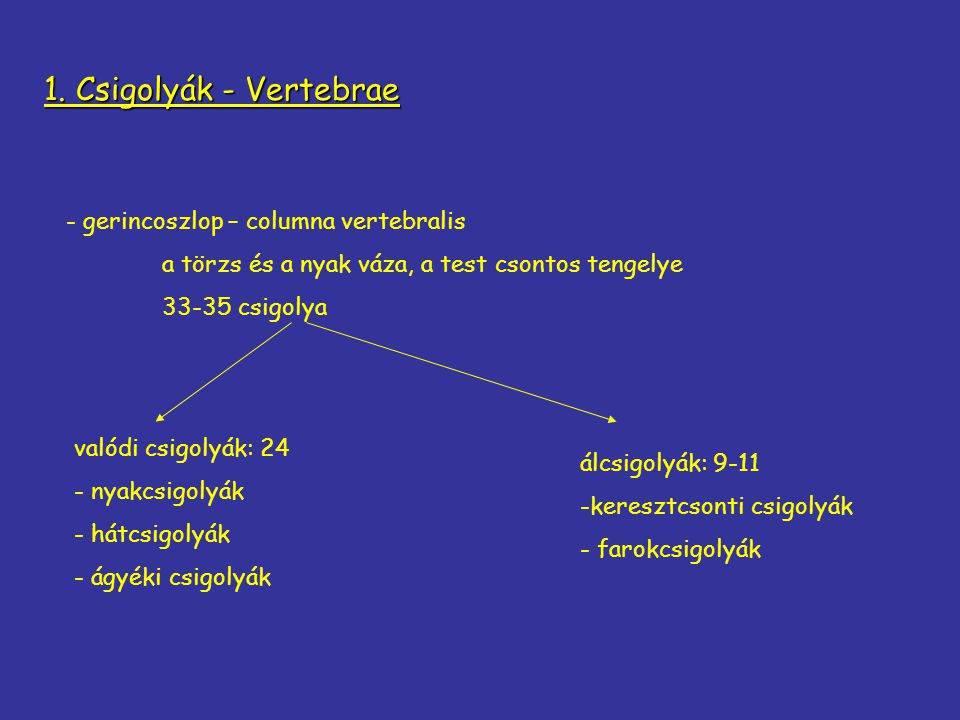 1. Csigolyák - Vertebrae - gerincoszlop – columna vertebralis