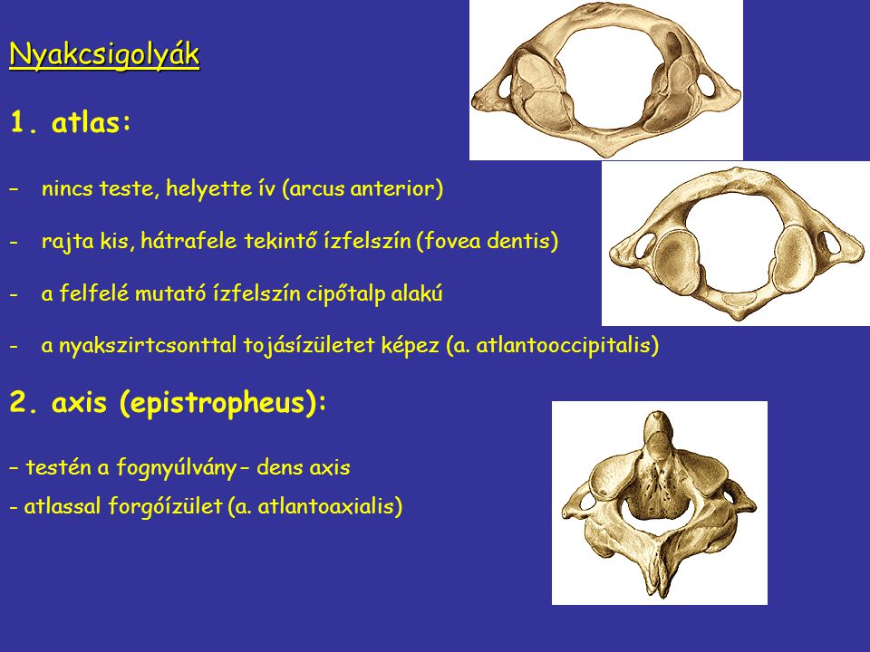 Nyakcsigolyák 1. atlas: 2. axis (epistropheus):