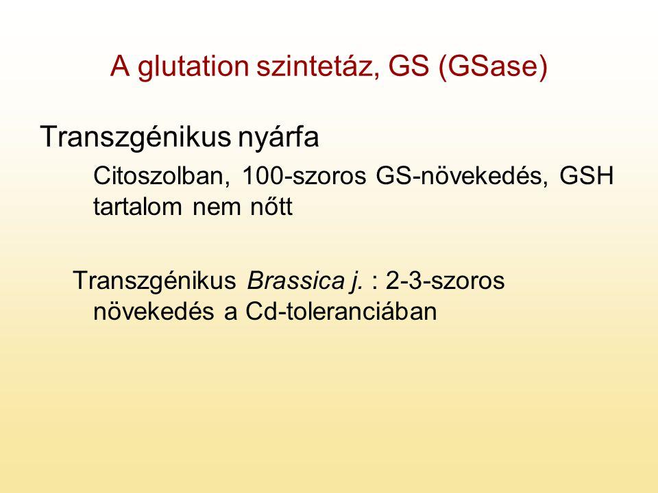 A glutation szintetáz, GS (GSase)