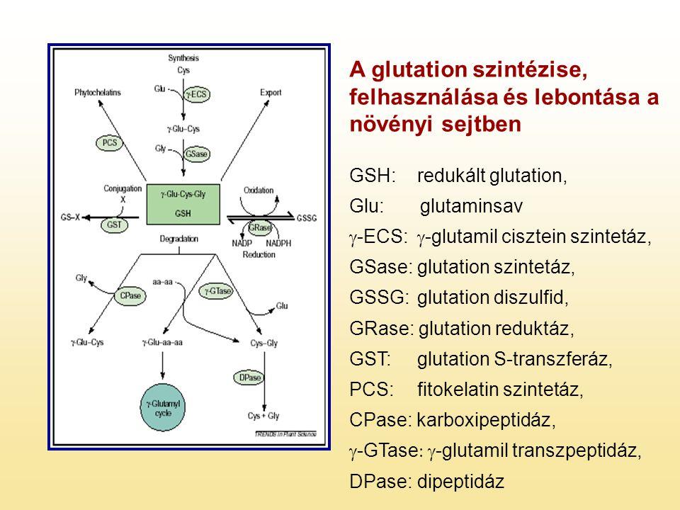 A glutation szintézise, felhasználása és lebontása a növényi sejtben