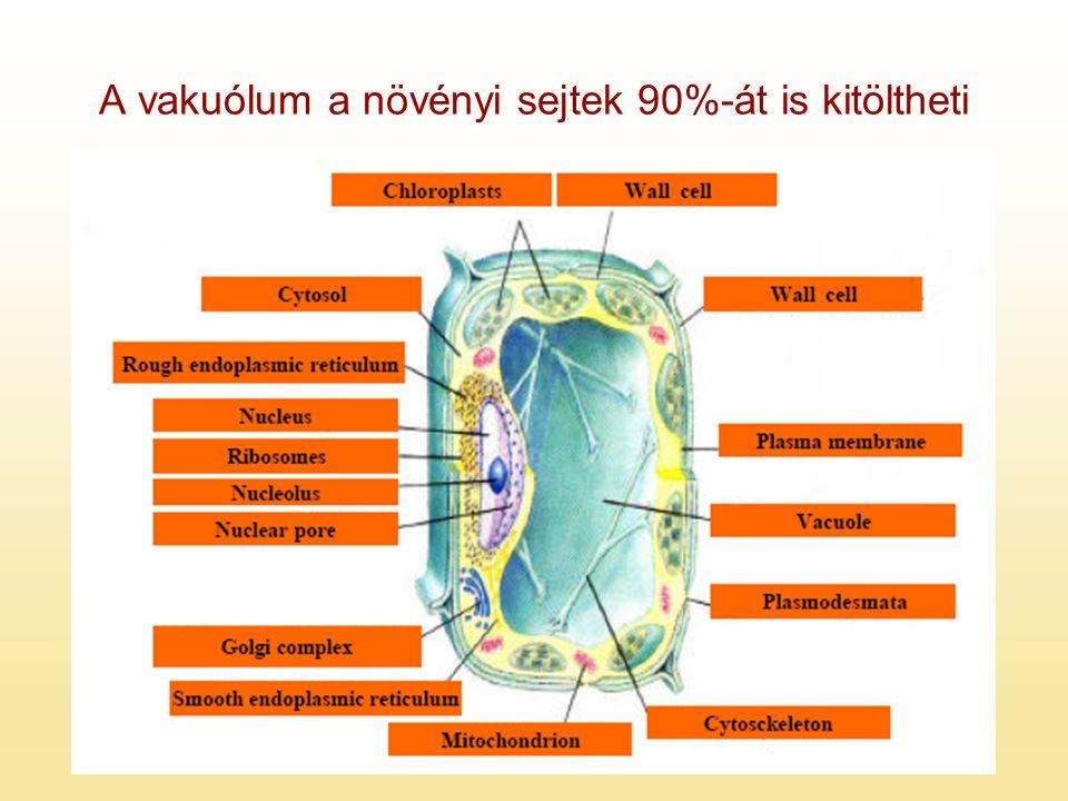 A vakuólum a növényi sejtek 90%-át is kitöltheti