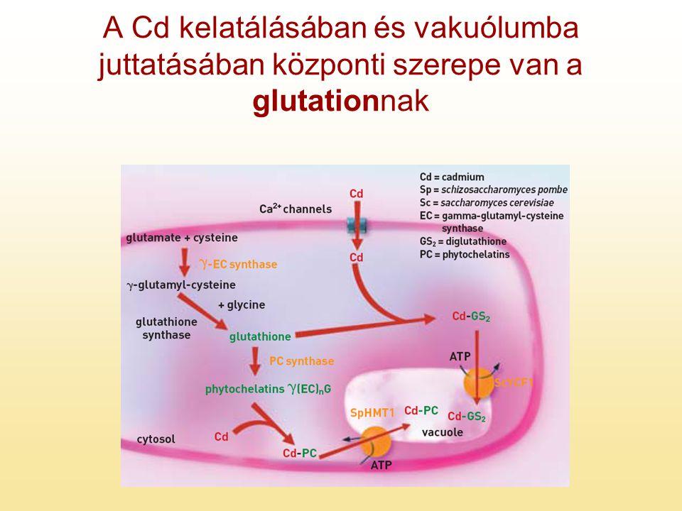 A Cd kelatálásában és vakuólumba juttatásában központi szerepe van a glutationnak