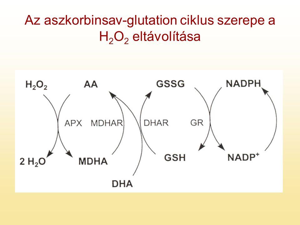 Az aszkorbinsav-glutation ciklus szerepe a H2O2 eltávolítása