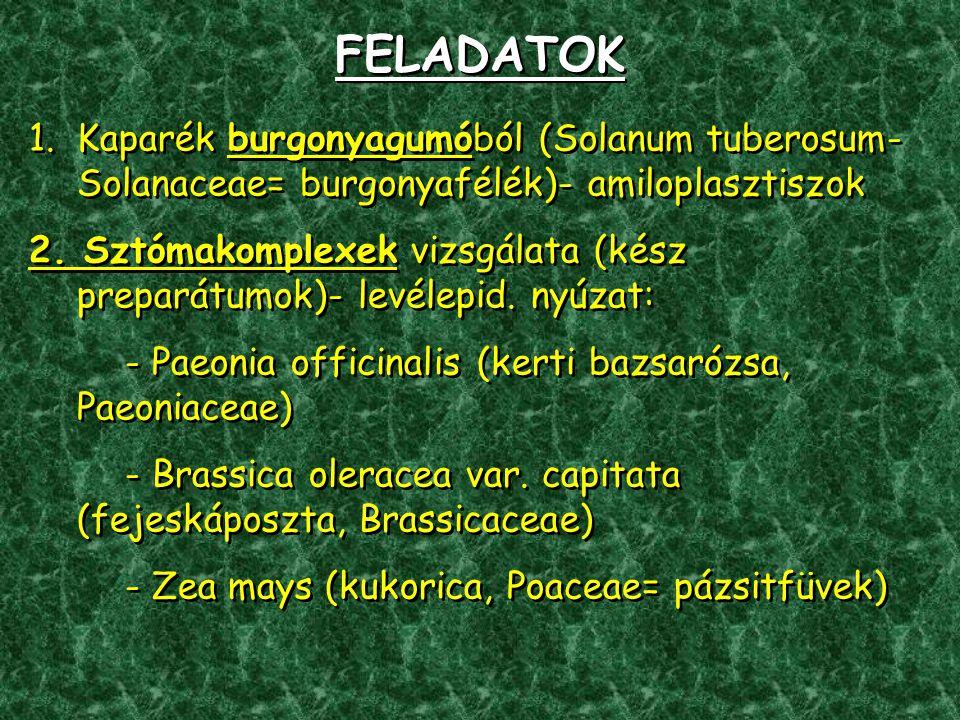 FELADATOK Kaparék burgonyagumóból (Solanum tuberosum- Solanaceae= burgonyafélék)- amiloplasztiszok.
