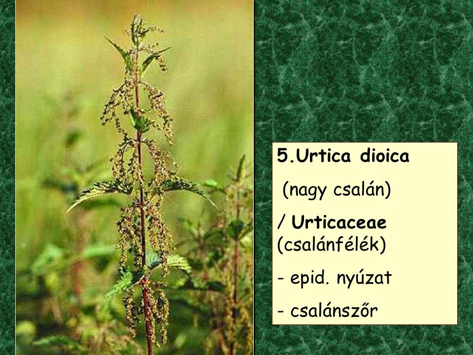 5.Urtica dioica (nagy csalán) / Urticaceae (csalánfélék) epid. nyúzat - csalánszőr