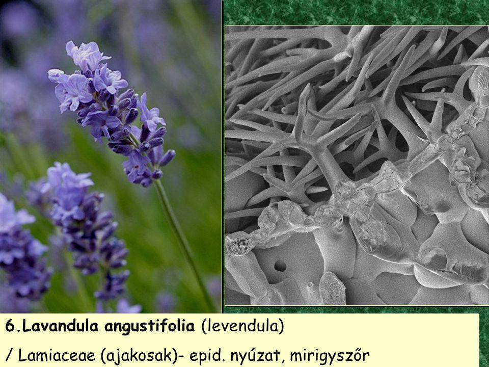6.Lavandula angustifolia (levendula)